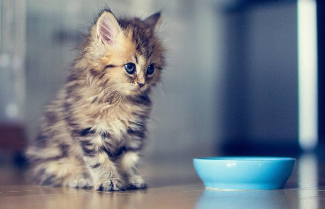 ご飯を待っている子猫