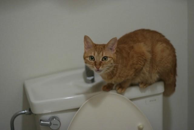 トイレタンクに乗る猫