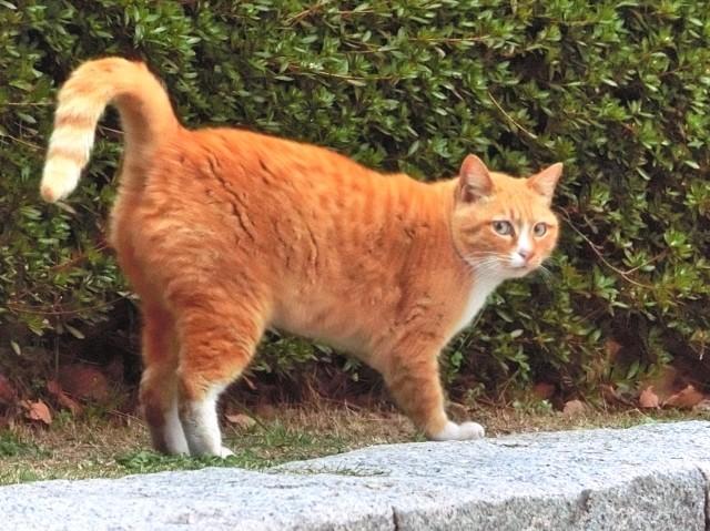 お尻を上げる野良猫