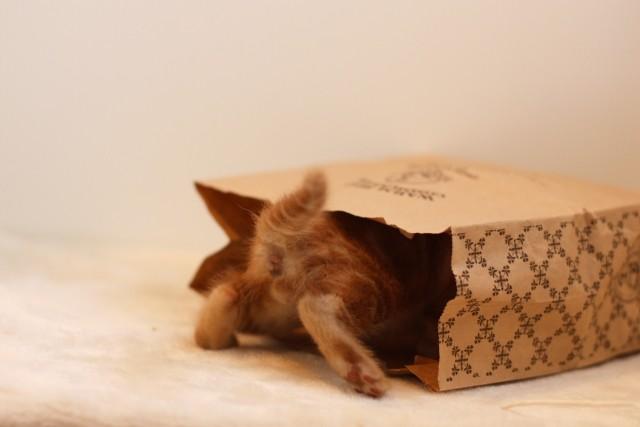 袋に入る子猫