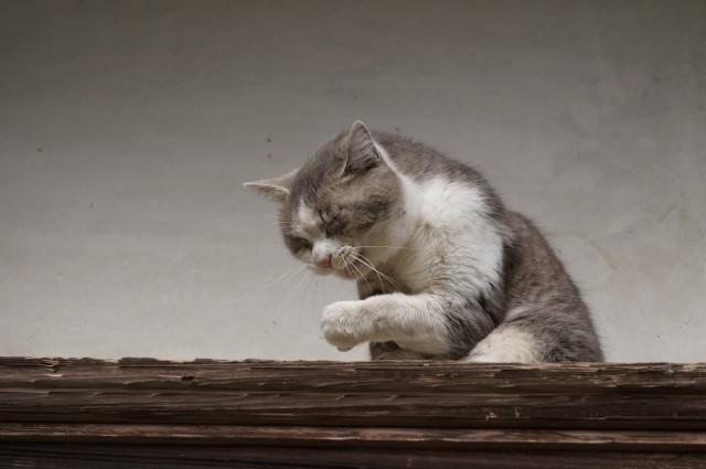 くしゃみをしそうになる猫