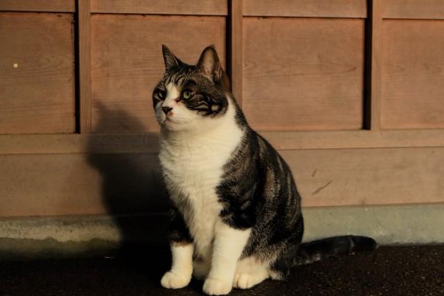 エジプト座りをする猫