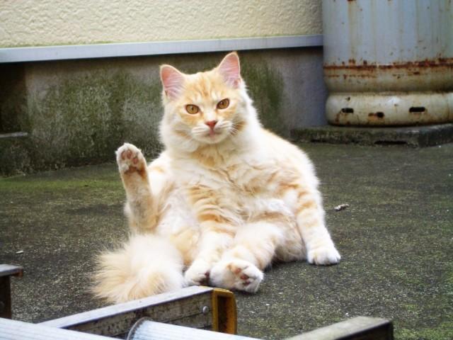 おやじ座りをしてこちらを見る猫
