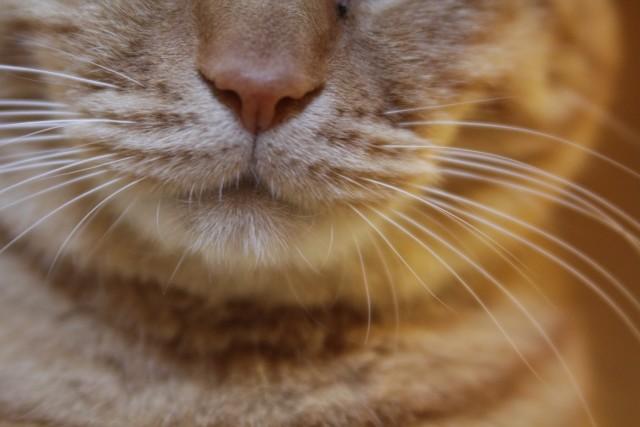 クリーム色の猫の口元