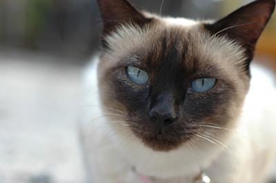 カメラ目線のシャム猫