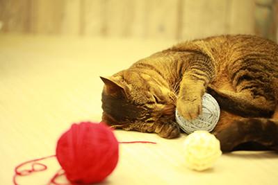 雑種の飼い猫のテト