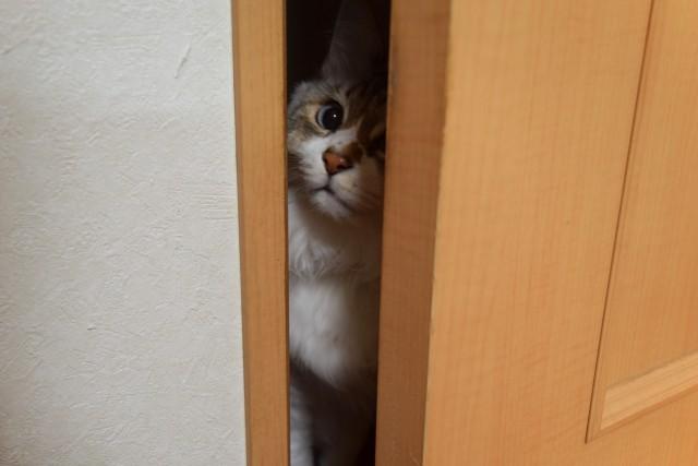 ドアの隙間から覗く猫
