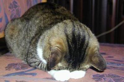 ひれ伏す猫
