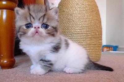 エキゾチックショートヘアの仔猫