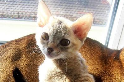 ジャーマンレックスの子猫