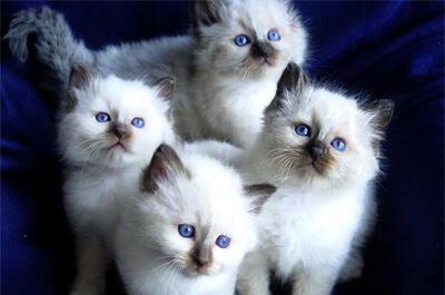 バーマンの子猫達