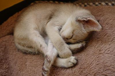 丸まって寝る子猫のシンガプーラ