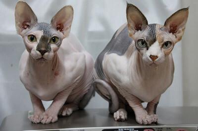 二匹並んだ猫のスフィンクス