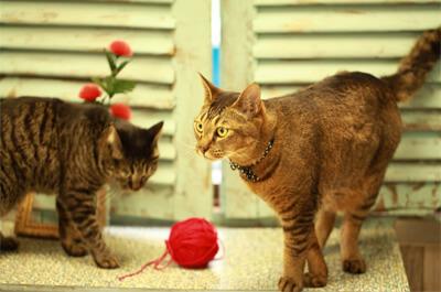 仲良く遊ぶ雑種の飼い猫