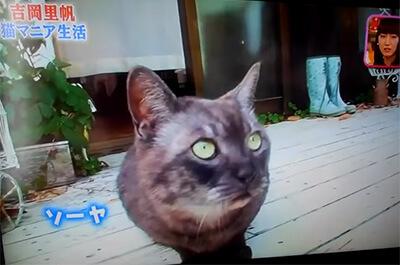 吉岡里帆の飼い猫のソーヤ
