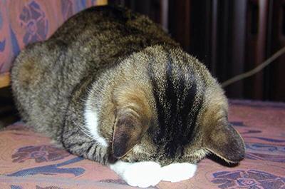 土下座をする猫
