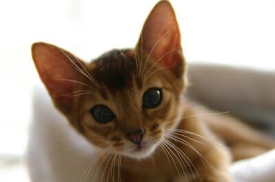 子猫のアビシニアン