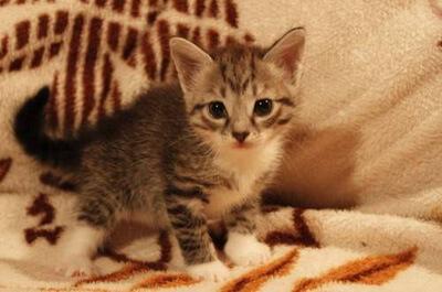 子猫のウラルレックス
