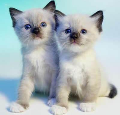 子猫のスノーシュー