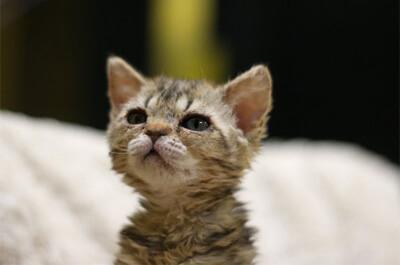子猫のセルカークレックス