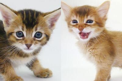 子猫のソマリとアビシニアン