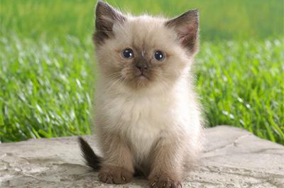 子猫のヒマラヤン