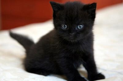 子猫のボンベイ