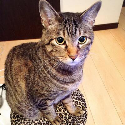 市川由衣の愛猫トラジ