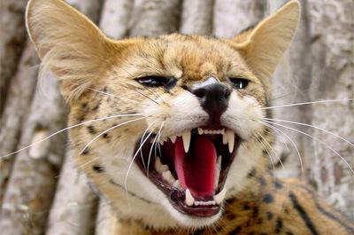 怒っているサバンナキャット