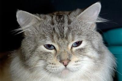成猫のアメリカンボブテイル
