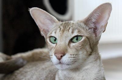 成猫のオリエンタル