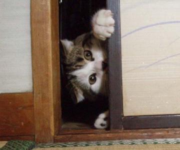 押し入れの隙間に入る猫
