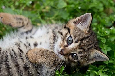 横たわる仔猫のベンガル