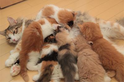 母猫に群がる子猫達