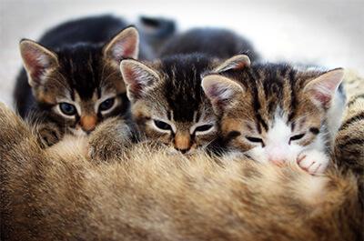母猫の乳を飲む仔猫