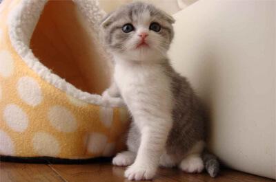 母猫を探すスコティッシュフォールド