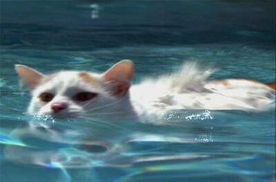 水中を泳ぐターキッシュバン
