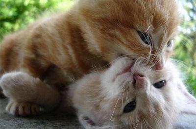 甘噛みして遊ぶ子猫