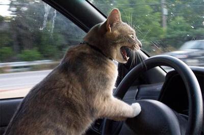 運転席で叫ぶ猫