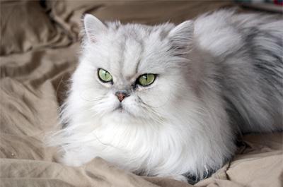 遠くを見つめるペルシャ猫