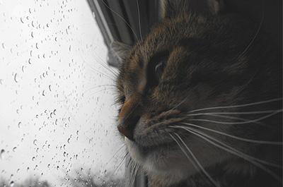 雨の降る外を眺める猫