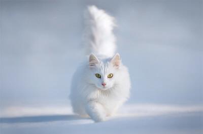 雪の中を歩くペルシャ猫