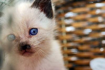 青い目のシャム猫
