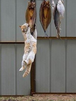 魚を盗み食う猫