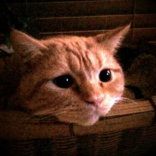つるの剛士の飼い猫の茶子