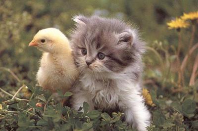 ひよこと並ぶ猫