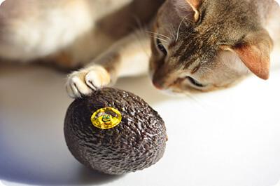 アボガドで遊ぶ猫