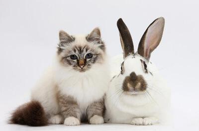ウサギと写るバーマン