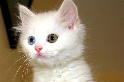 オッドアイの子猫ターキッシュバン