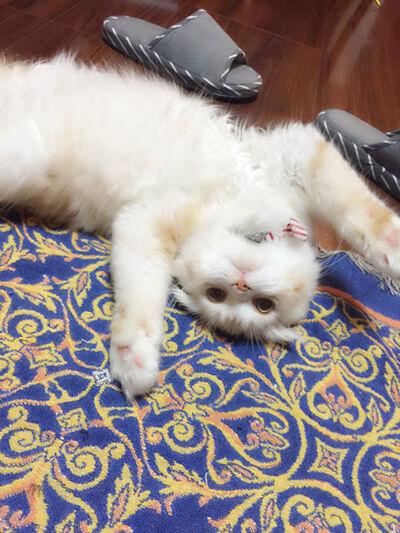 カメラ目線の飼い猫のロワ